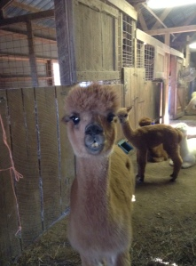 TPK Retreat 2015 Alpaca overbite