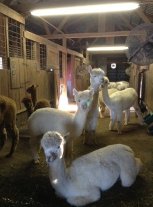 TPK Retreat 2015 Alpacas